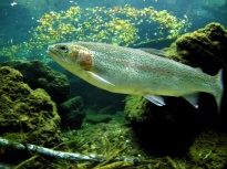 Finns want to breed trout in Russia